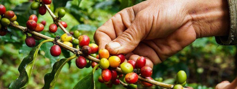 Od plantaža do šoljica... Kako nam stiže kafa?